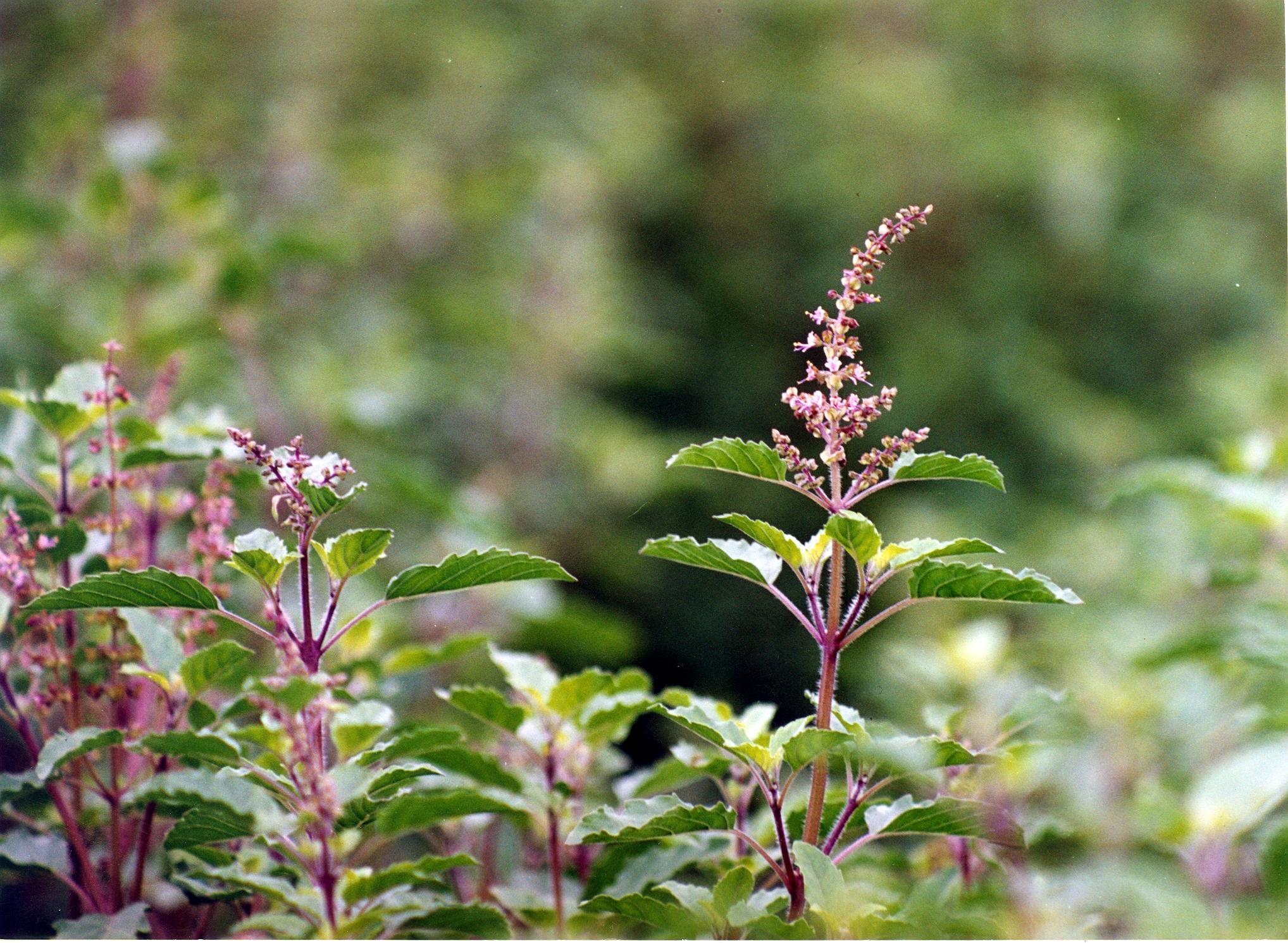 De ce ORGANIC INDIA foloseste doar plante ce NU au fost iradiate