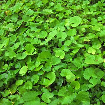 plante-brahmi