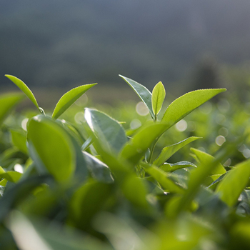 plante-ceai-verde.jpg