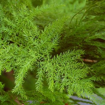 plante-shatavari.jpg