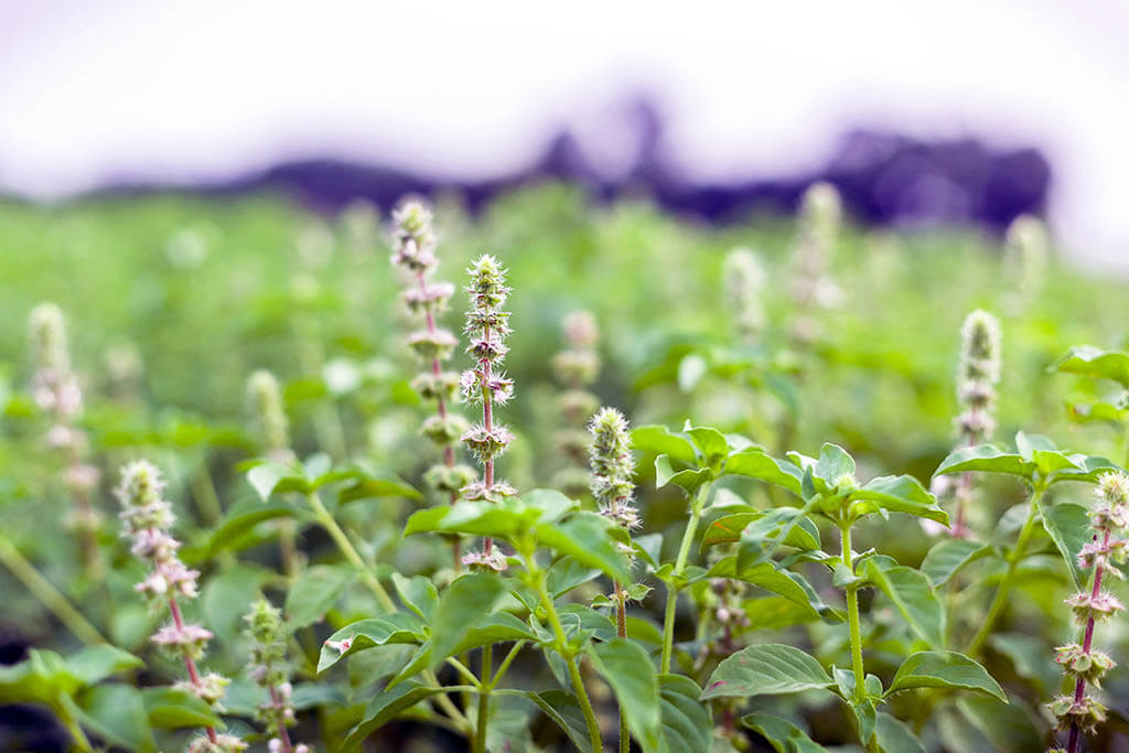 Tulsi_Holy_Basil_blog_main_photo.jpg