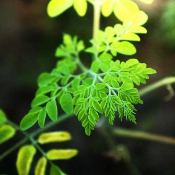 Moringa: Beneficii, echilibru hormonal, digestie si stare de bine