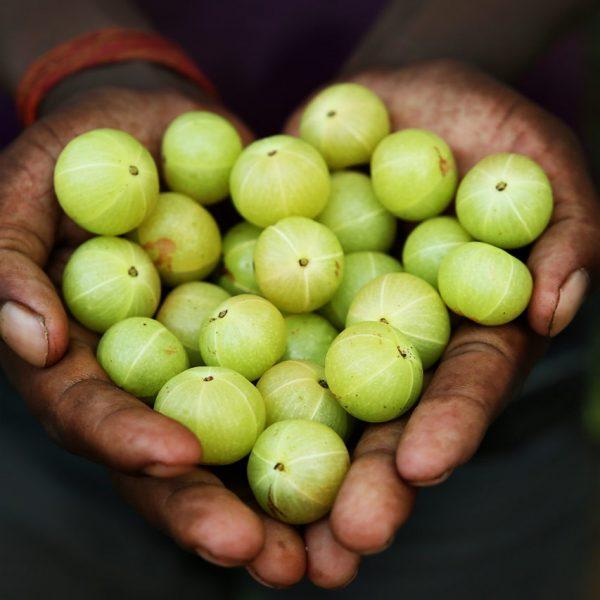 Beneficiile agriselor indiene, Amla sau Amalaki, pentru sanatatea ficatului, inimii si creierului