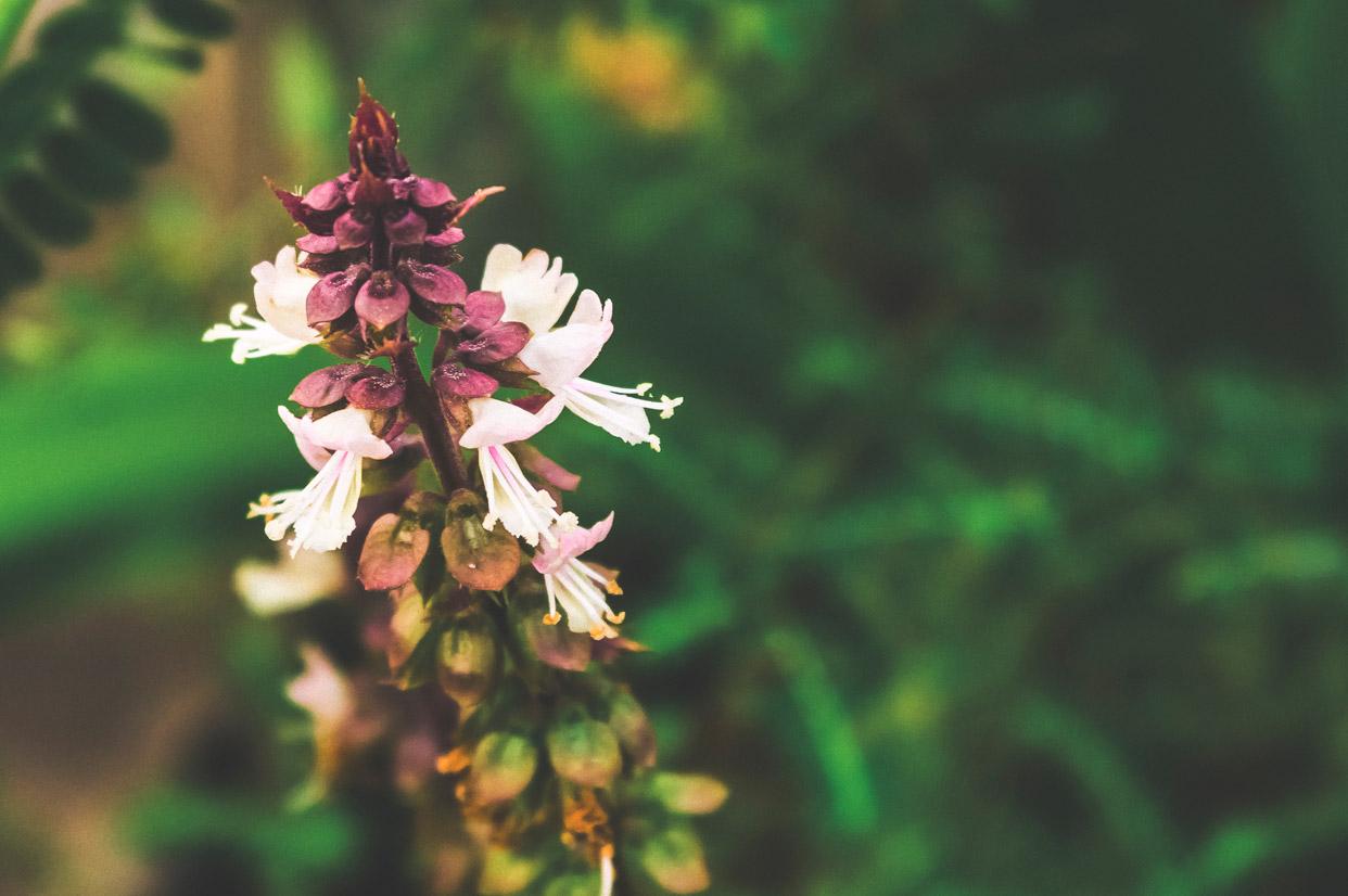 Tulsi-Holy-Basil-Flower-Herb.jpg