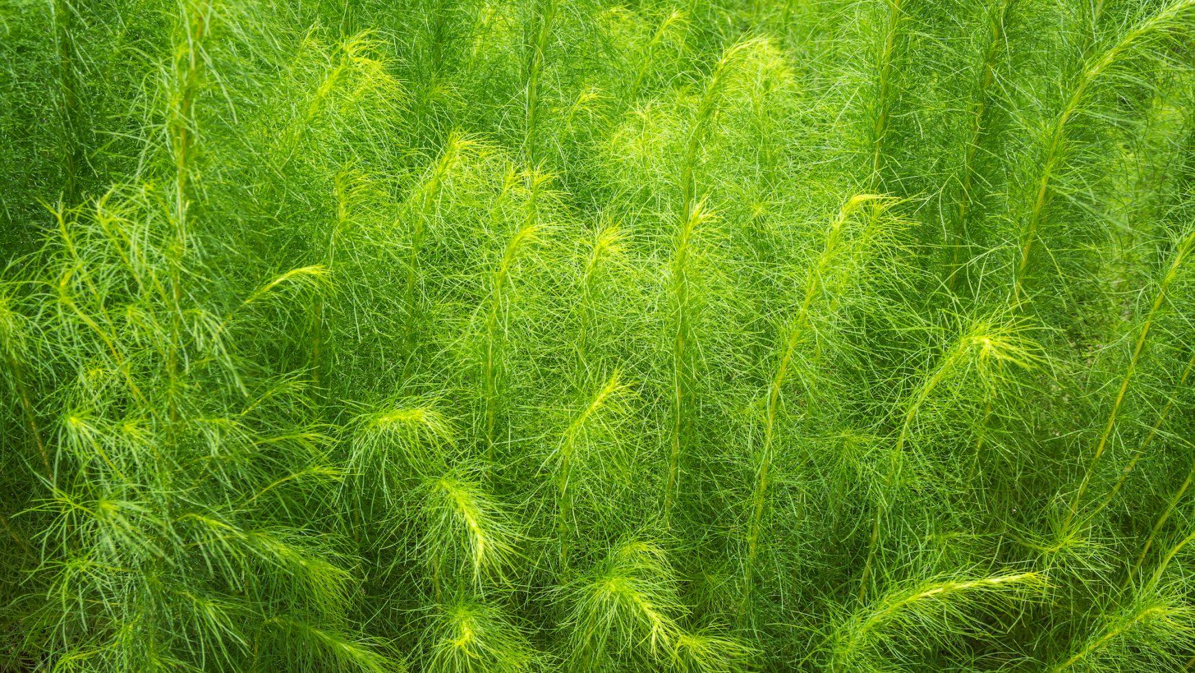 O plantă ayurvedică regală: Shatavari, pentru echilibru hormonal