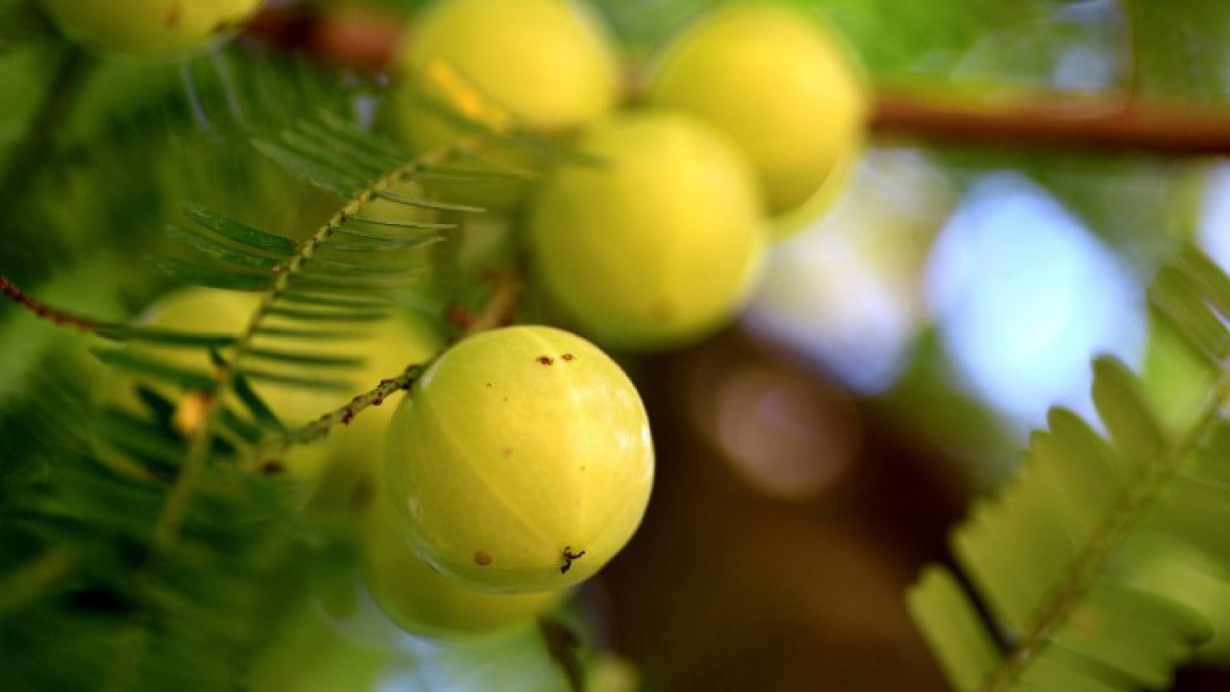 Amla: Superalimentul Ayurvedic mai bun decât Vitamina C