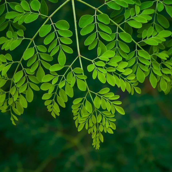 Moringa: darul energiei pure