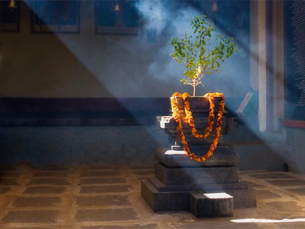 De ce este Tulsi o planta medicinala sacra?
