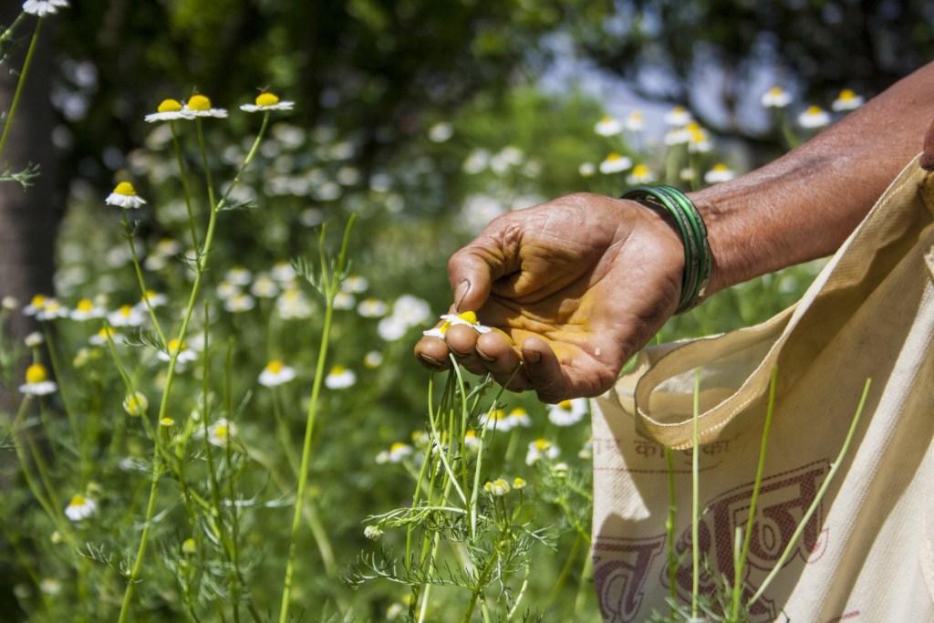 O companie care inspiră: forța femeilor, agricultura regenerativă și cele mai sacre plante ayurvedice